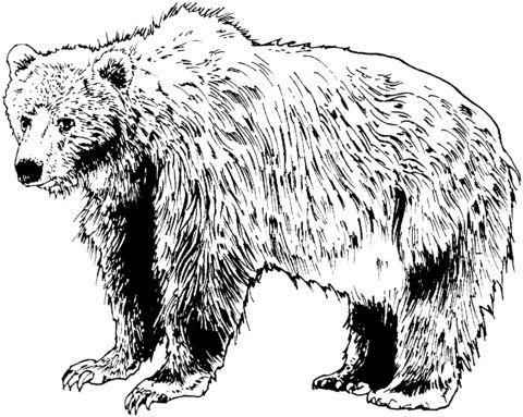 oso para colorear 10 oso pardo