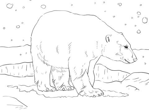 oso para colorear 3 oso polar adulto