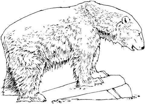oso para colorear 5 oso polar sobre piedra