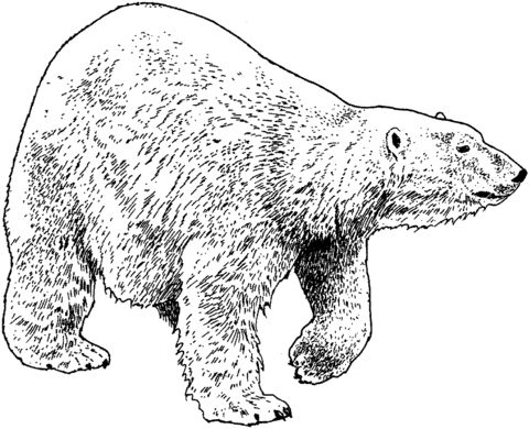 oso para colorear 6